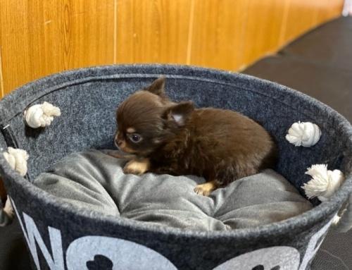 チワワ(ロング)の子犬(ID:1248411116)の2枚目の写真/更新日:2018-01-29