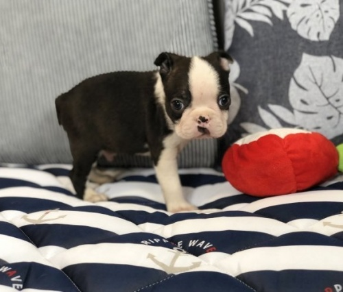ボストンテリアの子犬(ID:1248411117)の1枚目の写真/更新日:2019-06-24