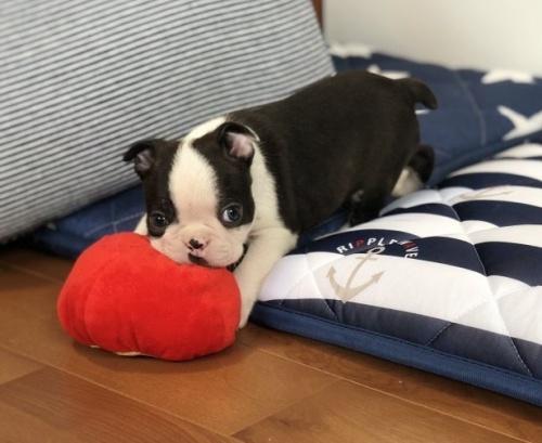 ボストンテリアの子犬(ID:1248411117)の2枚目の写真/更新日:2019-06-24