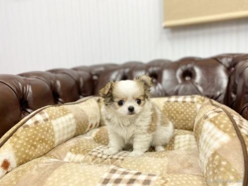 チワワ(ロング)の子犬(ID:1248411118)の2枚目の写真/更新日:2018-02-12