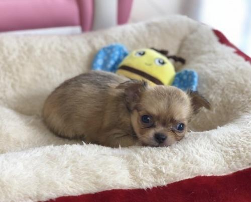 チワワ(ロング)の子犬(ID:1248411119)の1枚目の写真/更新日:2018-08-18