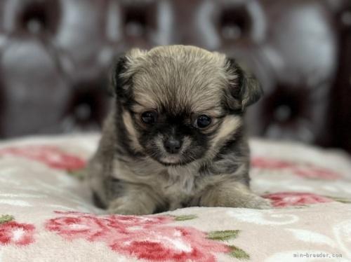 チワワ(ロング)の子犬(ID:1248411120)の1枚目の写真/更新日:2018-08-18