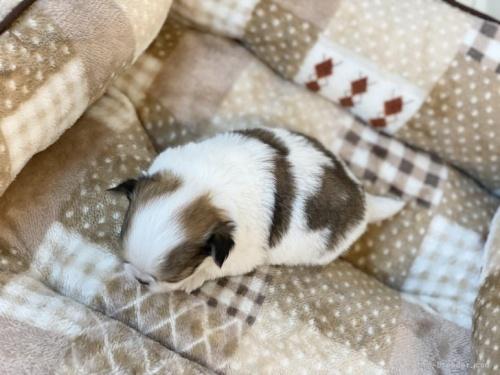 チワワ(スムース)の子犬(ID:1248411121)の3枚目の写真/更新日:2019-06-03