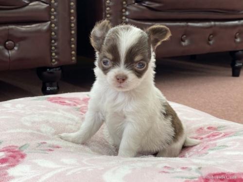 チワワ(ロング)の子犬(ID:1248411122)の1枚目の写真/更新日:2018-02-22