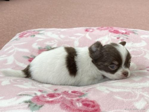 チワワ(ロング)の子犬(ID:1248411122)の3枚目の写真/更新日:2020-04-11