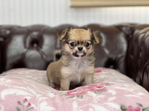 チワワ(ロング)の子犬(ID:1248411123)の2枚目の写真/更新日:2018-02-22