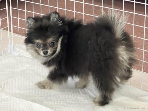 ポメラニアンの子犬(ID:1248411124)の3枚目の写真/更新日:2019-10-14