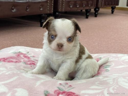 チワワ(ロング)の子犬(ID:1248411125)の1枚目の写真/更新日:2018-09-19