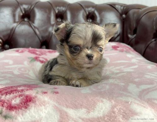 チワワ(ロング)の子犬(ID:1248411126)の2枚目の写真/更新日:2018-03-19