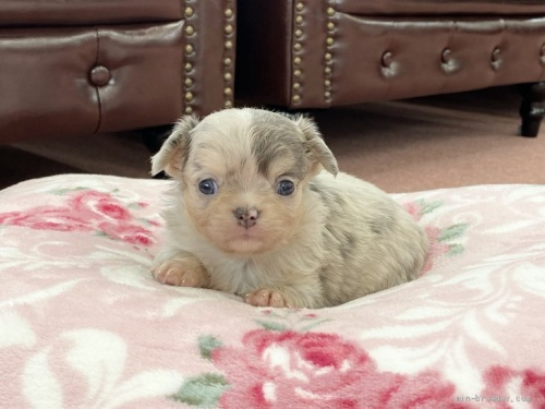 チワワ(ロング)の子犬(ID:1248411127)の1枚目の写真/更新日:2018-03-19