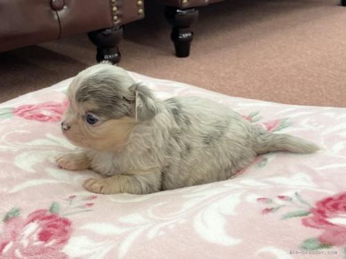 チワワ(ロング)の子犬(ID:1248411127)の2枚目の写真/更新日:2020-10-20