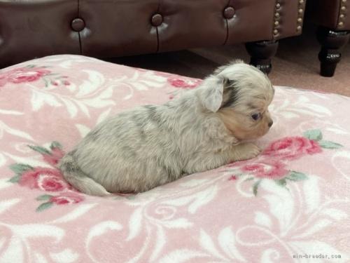 チワワ(ロング)の子犬(ID:1248411127)の4枚目の写真/更新日:2020-10-20