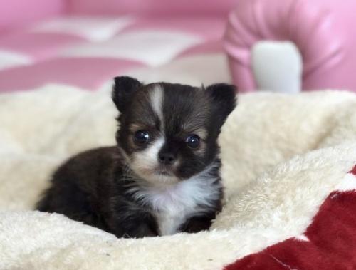 チワワ(ロング)の子犬(ID:1248411128)の2枚目の写真/更新日:2018-03-19