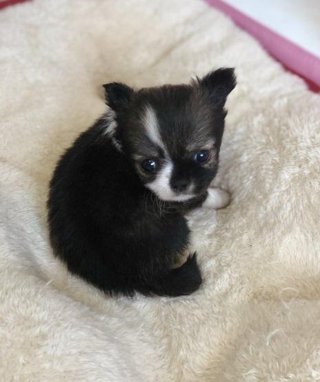 チワワ(ロング)の子犬(ID:1248411128)の3枚目の写真/更新日:2018-09-19
