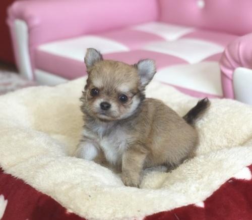 チワワ(ロング)の子犬(ID:1248411129)の1枚目の写真/更新日:2018-09-19