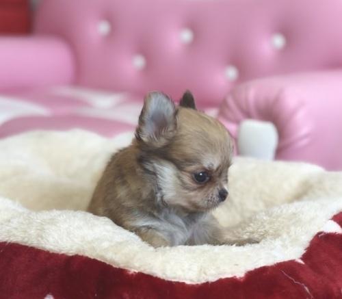 チワワ(ロング)の子犬(ID:1248411129)の2枚目の写真/更新日:2018-09-19