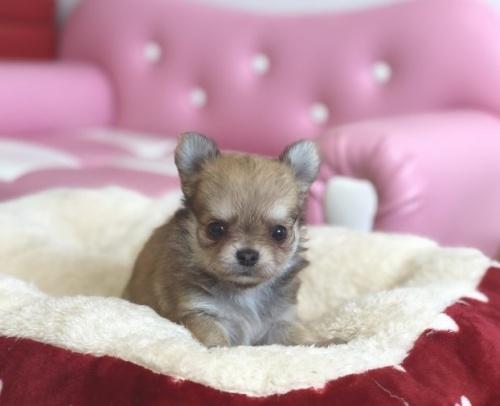 チワワ(ロング)の子犬(ID:1248411129)の3枚目の写真/更新日:2018-09-19