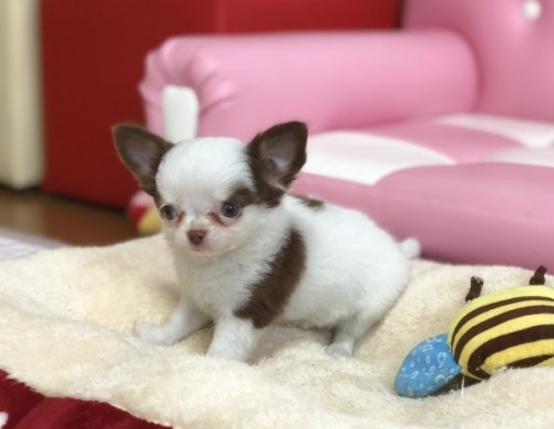 チワワ(ロング)の子犬(ID:1248411130)の1枚目の写真/更新日:2018-03-19