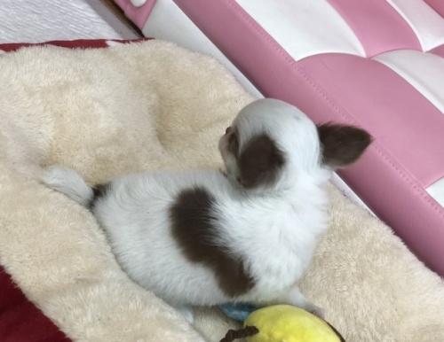 チワワ(ロング)の子犬(ID:1248411130)の3枚目の写真/更新日:2018-09-12