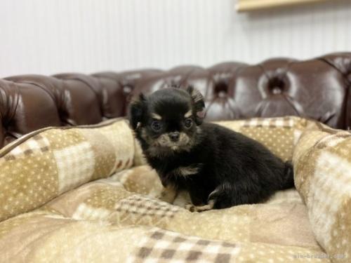 チワワ(ロング)の子犬(ID:1248411131)の2枚目の写真/更新日:2019-11-04