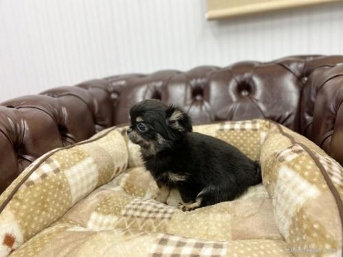 チワワ(ロング)の子犬(ID:1248411131)の3枚目の写真/更新日:2019-11-04