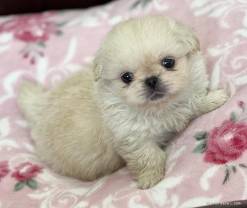 ペキニーズの子犬(ID:1248411133)の1枚目の写真/更新日:2018-04-02
