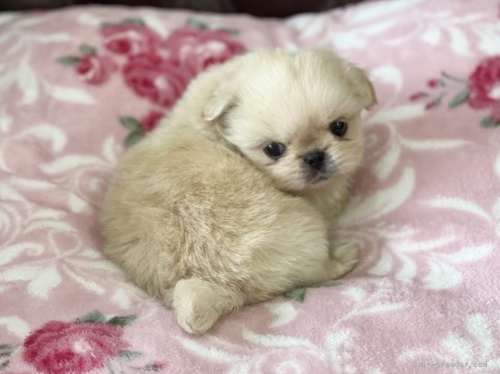 ペキニーズの子犬(ID:1248411133)の2枚目の写真/更新日:2018-04-02