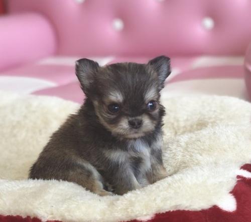 チワワ(ロング)の子犬(ID:1248411134)の1枚目の写真/更新日:2018-09-19
