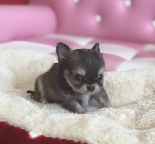 チワワ(スムース)の子犬(ID:1248411134)の2枚目の写真/更新日:2018-04-02