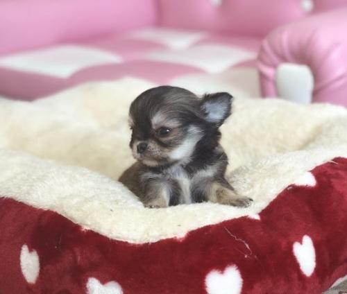 チワワ(ロング)の子犬(ID:1248411134)の3枚目の写真/更新日:2018-09-19