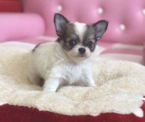 チワワ(ロング)の子犬(ID:1248411135)の1枚目の写真/更新日:2018-04-02