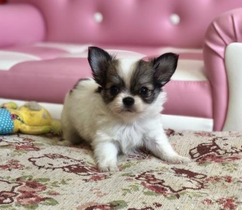 チワワ(ロング)の子犬(ID:1248411135)の2枚目の写真/更新日:2018-09-19