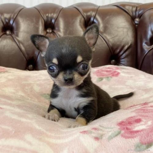 チワワ(ロング)の子犬(ID:1248411136)の1枚目の写真/更新日:2018-04-05