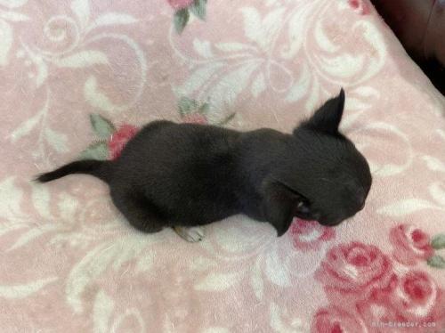 チワワ(スムース)の子犬(ID:1248411136)の4枚目の写真/更新日:2018-09-10