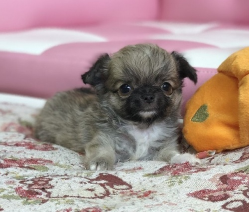 チワワ(ロング)の子犬(ID:1248411137)の1枚目の写真/更新日:2018-09-10