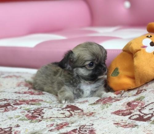 チワワ(ロング)の子犬(ID:1248411137)の2枚目の写真/更新日:2018-09-10