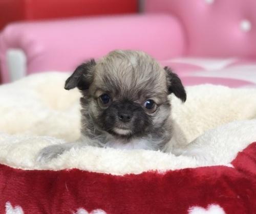 チワワ(ロング)の子犬(ID:1248411137)の3枚目の写真/更新日:2018-09-10