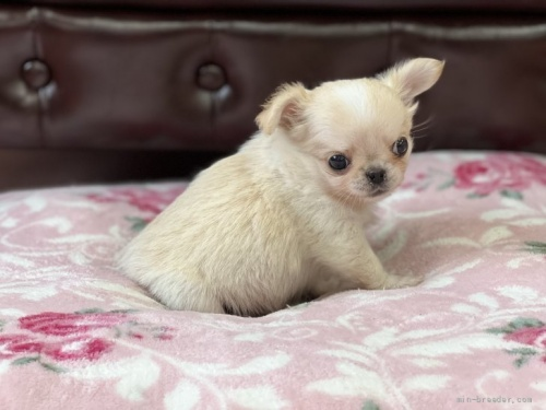 チワワ(スムース)の子犬(ID:1248411138)の2枚目の写真/更新日:2018-04-05