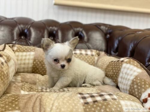 チワワ(スムース)の子犬(ID:1248411138)の3枚目の写真/更新日:2018-04-05