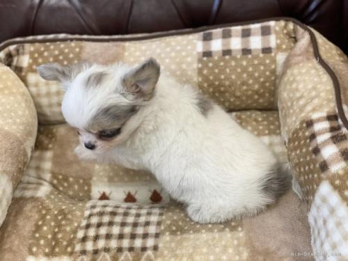 チワワ(スムース)の子犬(ID:1248411138)の4枚目の写真/更新日:2018-07-16
