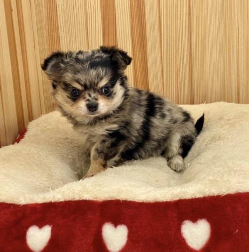 チワワ(ロング)の子犬(ID:1248411139)の1枚目の写真/更新日:2018-04-05