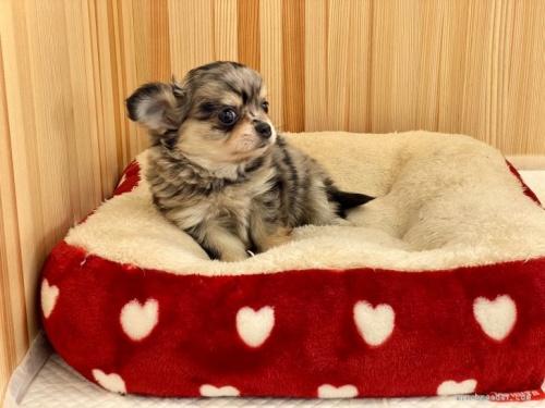 チワワ(ロング)の子犬(ID:1248411139)の3枚目の写真/更新日:2018-04-05