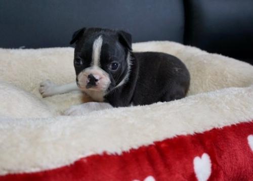 ボストンテリアの子犬(ID:1248411140)の1枚目の写真/更新日:2018-04-13