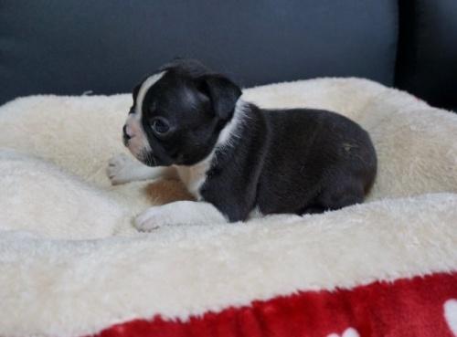 ボストンテリアの子犬(ID:1248411140)の2枚目の写真/更新日:2019-08-14
