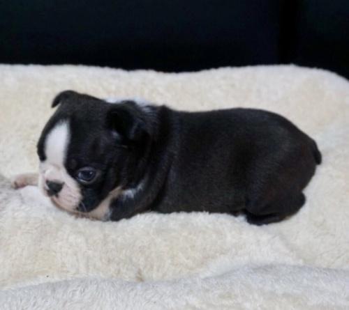ボストンテリアの子犬(ID:1248411141)の2枚目の写真/更新日:2019-10-03