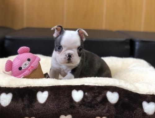 ボストンテリアの子犬(ID:1248411142)の1枚目の写真/更新日:2018-05-05