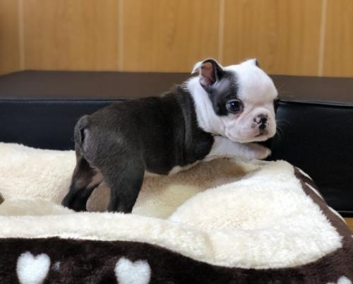 ボストンテリアの子犬(ID:1248411142)の2枚目の写真/更新日:2019-08-14