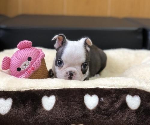 ボストンテリアの子犬(ID:1248411142)の3枚目の写真/更新日:2019-08-14