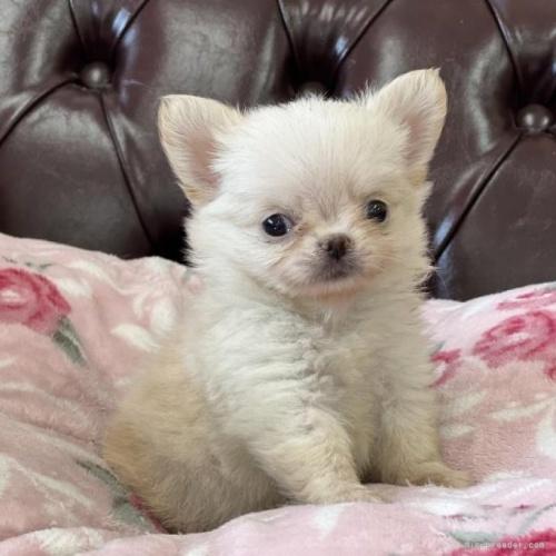 チワワ(スムース)の子犬(ID:1248411143)の1枚目の写真/更新日:2018-06-16