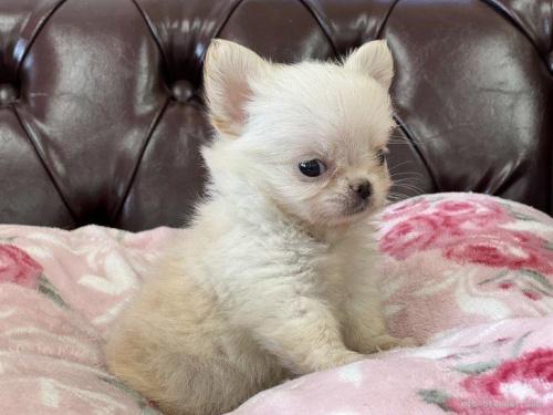 チワワ(スムース)の子犬(ID:1248411143)の2枚目の写真/更新日:2018-06-06